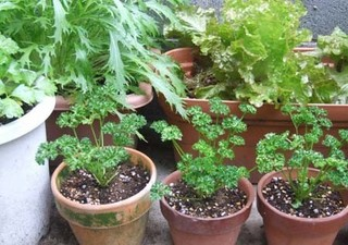 parsley2.JPG