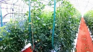 トマト 冬の育て方は?