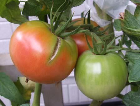 tomatohibiware.jpg