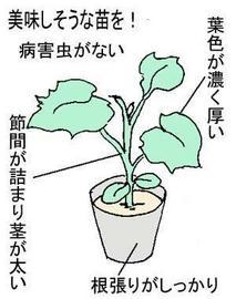野菜苗 選び方は?
